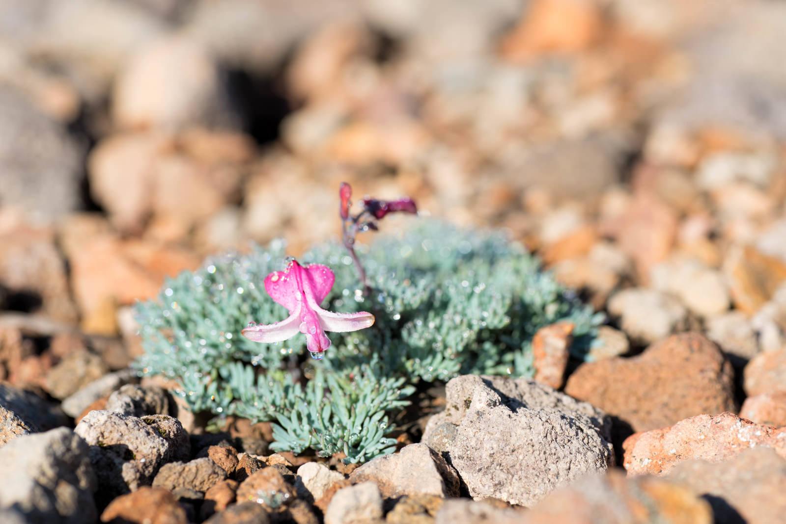 「花弁が開いたコマクサと水滴」の写真