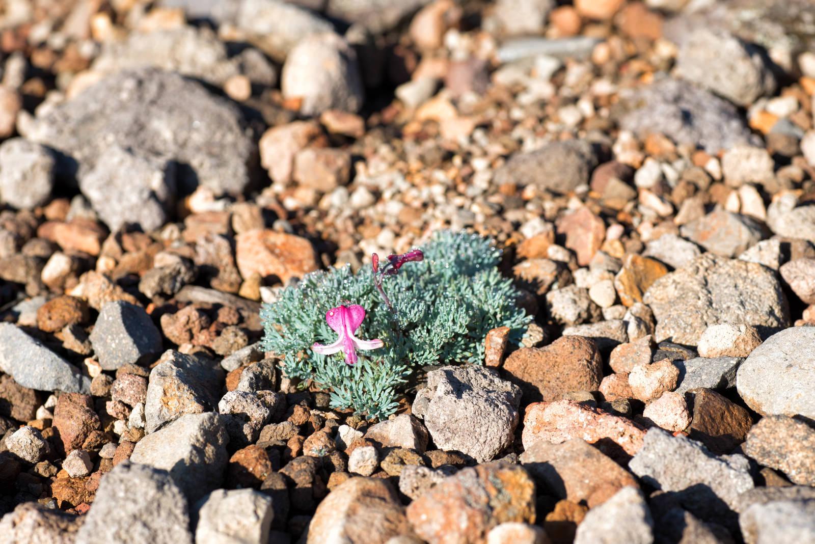「開花した高山植物(コマクサ)」の写真