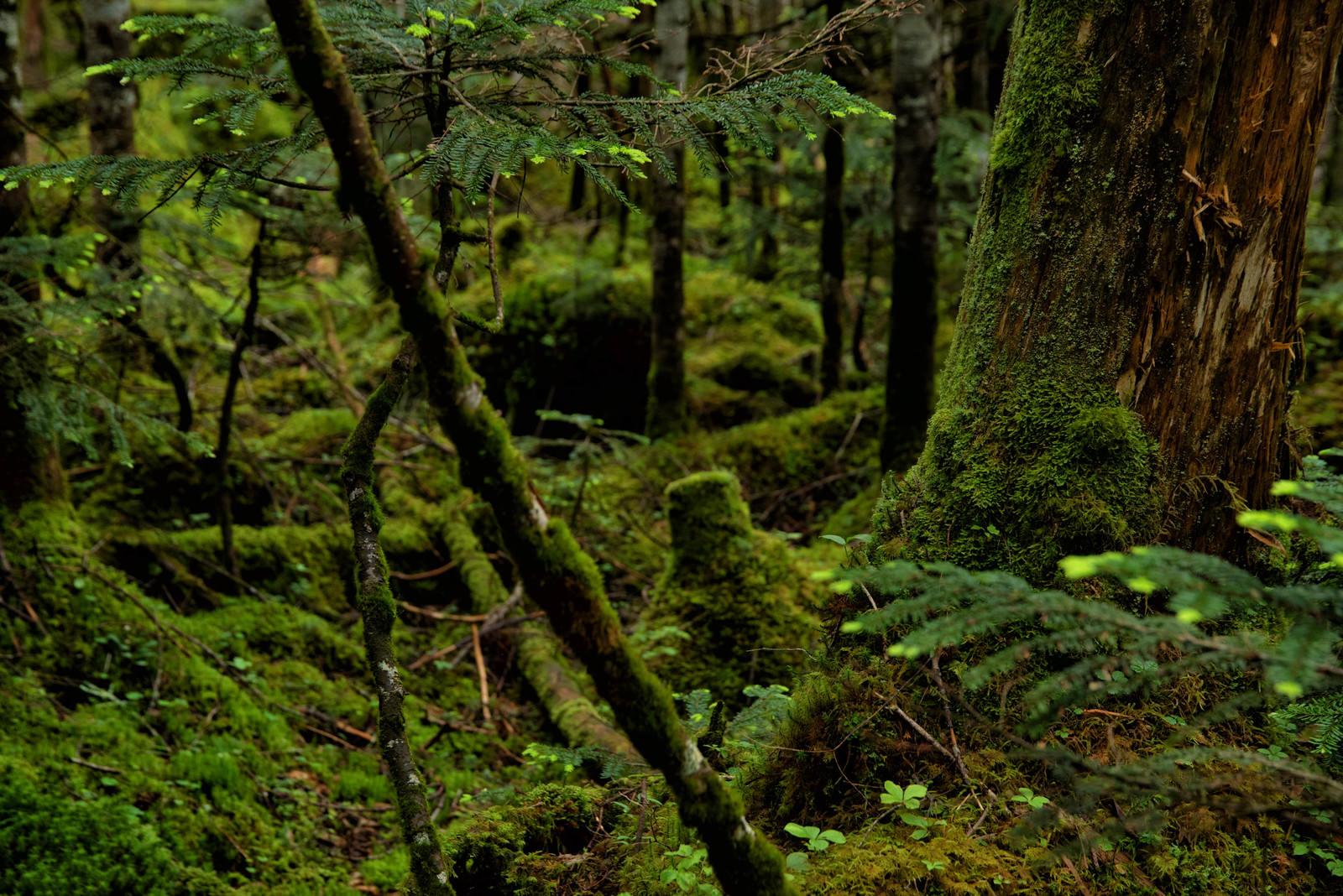 「苔の生い茂る原生林」の写真