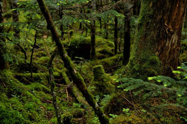 苔の生い茂る原生林の写真