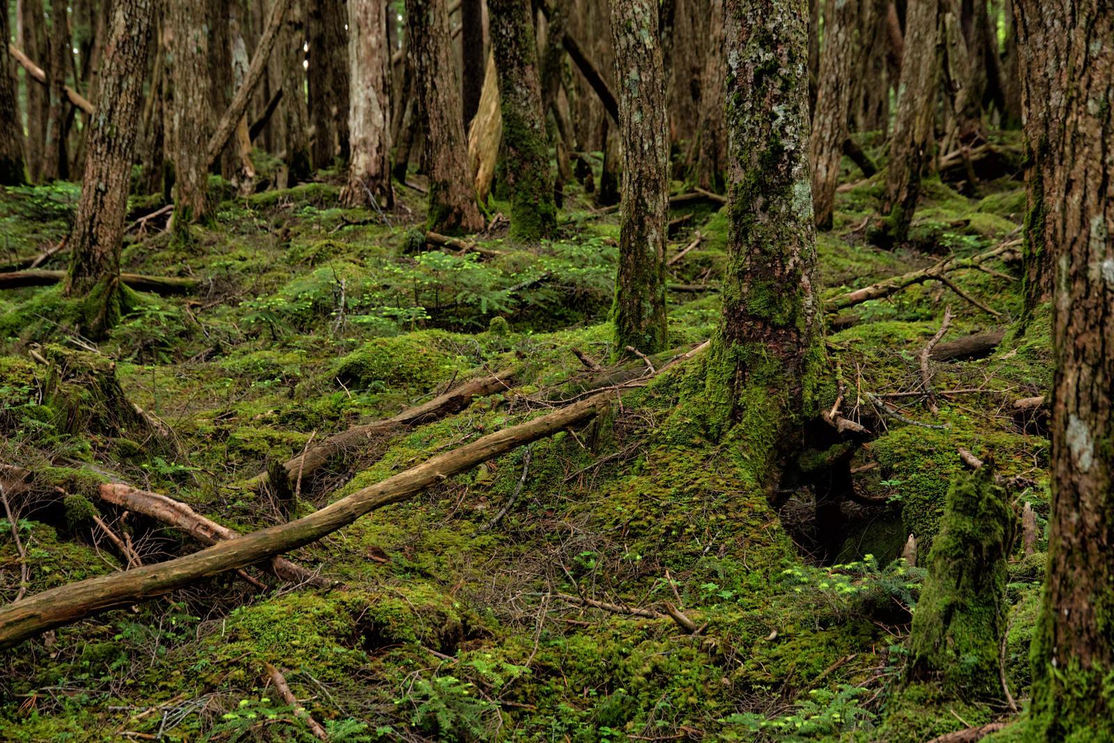 「苔が生い茂る原生森の大地」の写真