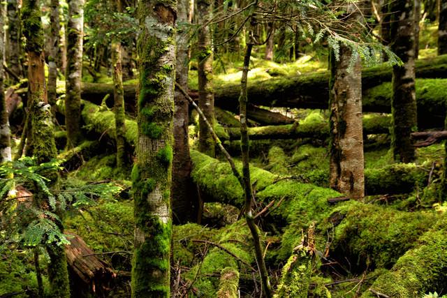 苔が覆う北八ヶ岳の森(八ヶ岳連峰)の写真