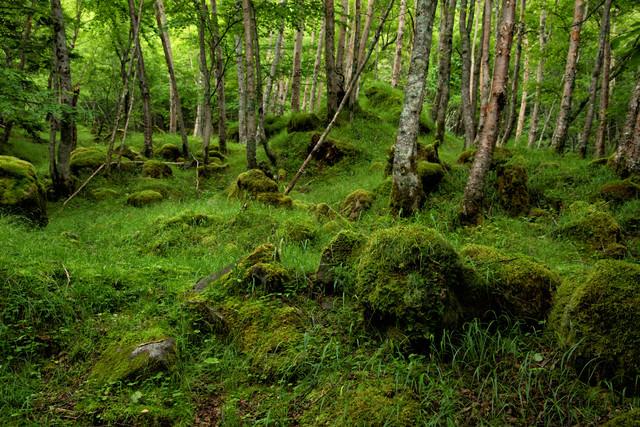 苔と新緑の八ヶ岳(八ヶ岳連峰)の写真