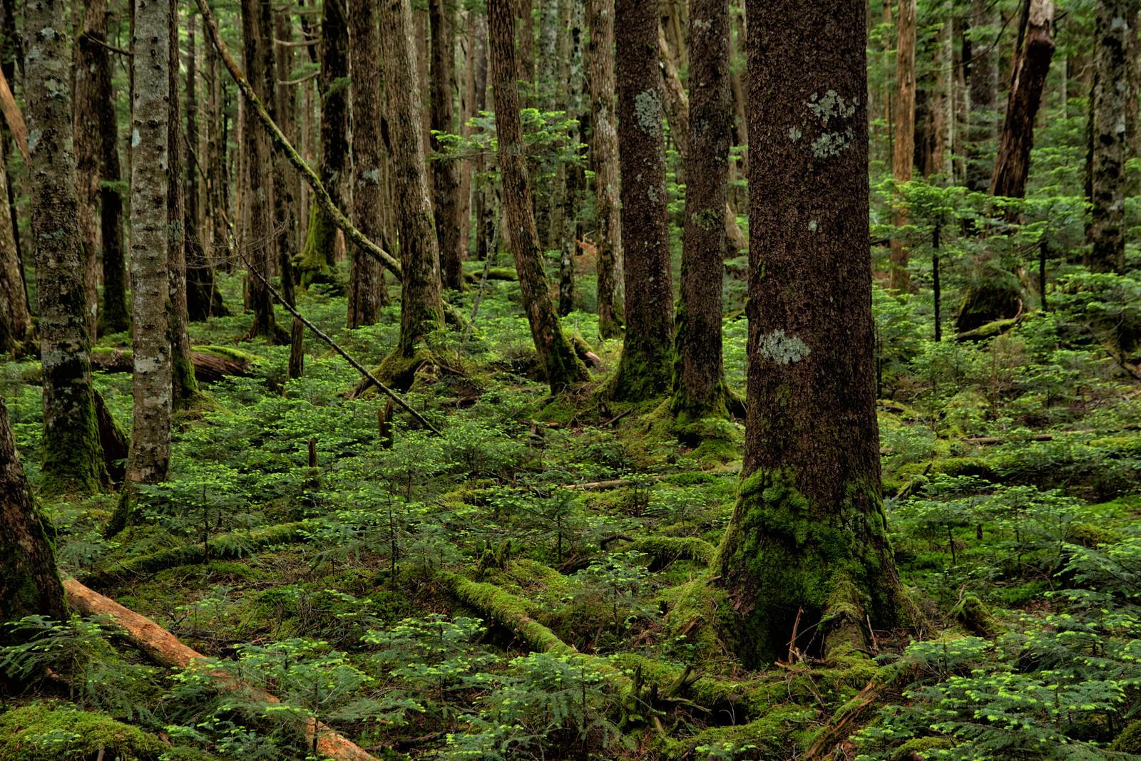 「苔の生い茂る森」の写真