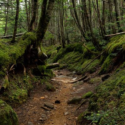 苔生す南沢ルート(八ヶ岳)の写真