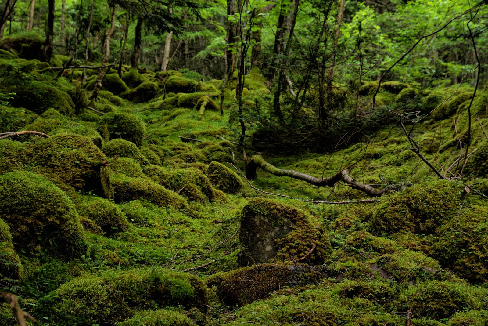 「苔の絨毯が敷かれた八ヶ岳の大地(八ヶ岳連峰)」の写真