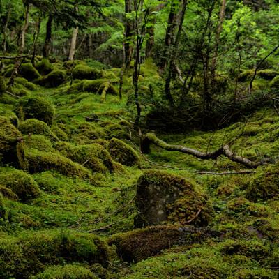 苔の絨毯が敷かれた八ヶ岳の大地(八ヶ岳連峰)の写真
