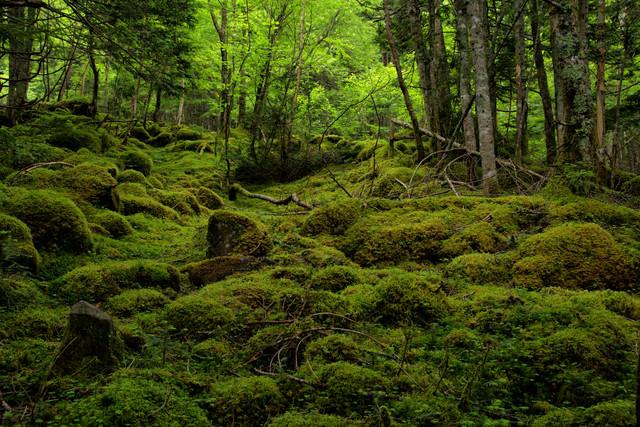 苔の絨毯で覆われる八ヶ岳(八ヶ岳連峰)の写真