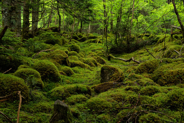 新緑と苔の絨毯が織り成す世界(八ヶ岳)の写真