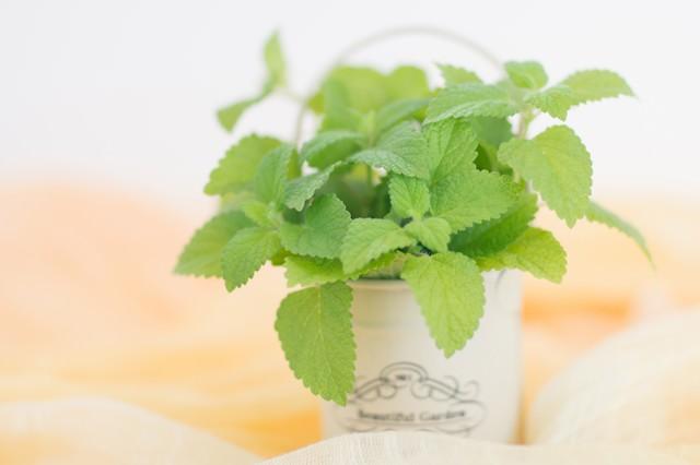 小さい鉢に入ったレモンミントの写真