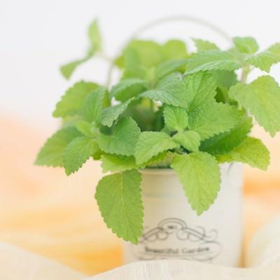 「小さい鉢に入ったレモンミント」の写真素材