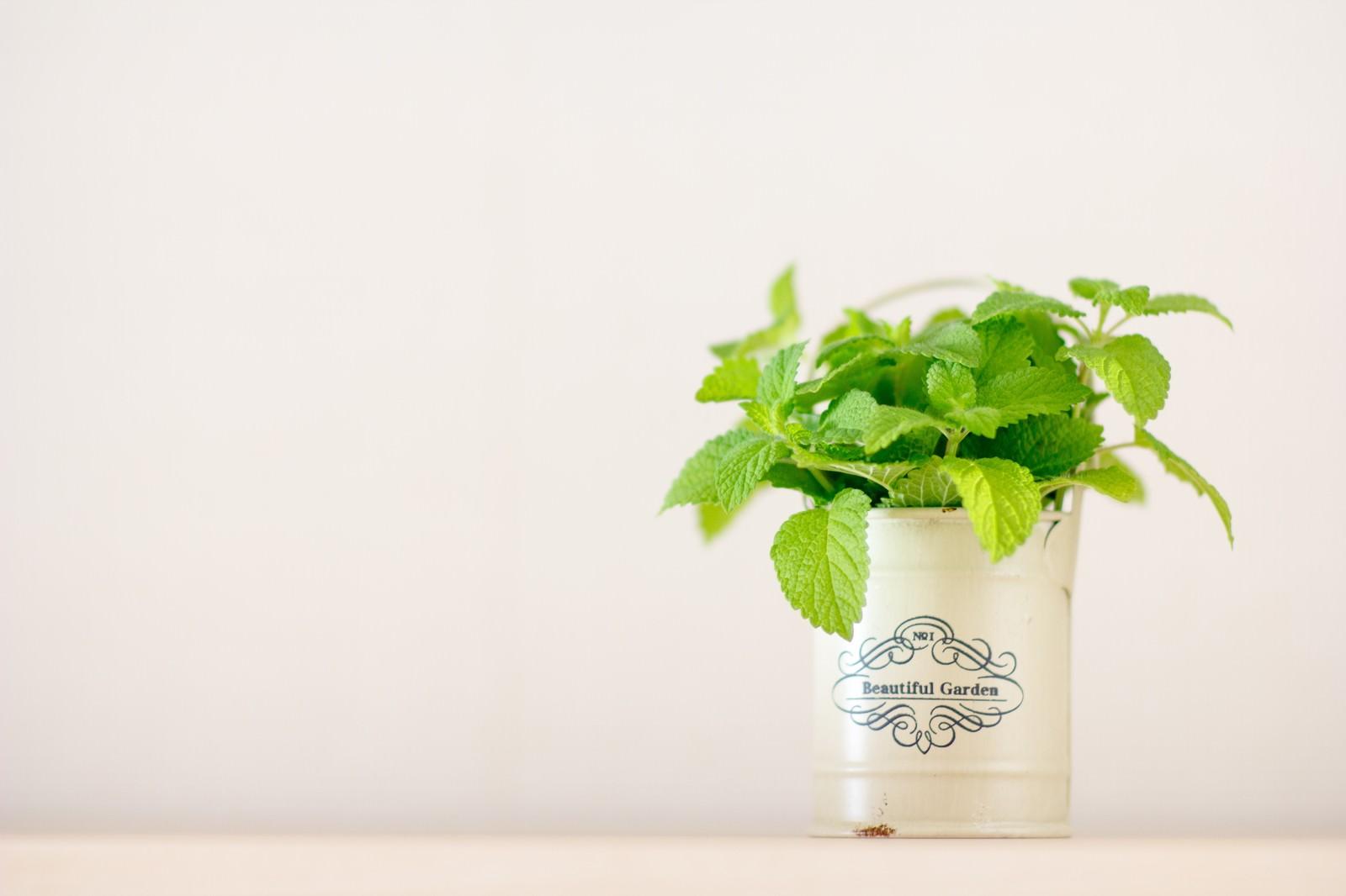 「室内でレモンミントを栽培」の写真