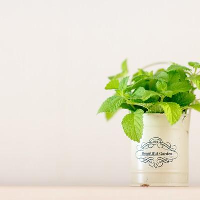 「室内でレモンミントを栽培」の写真素材