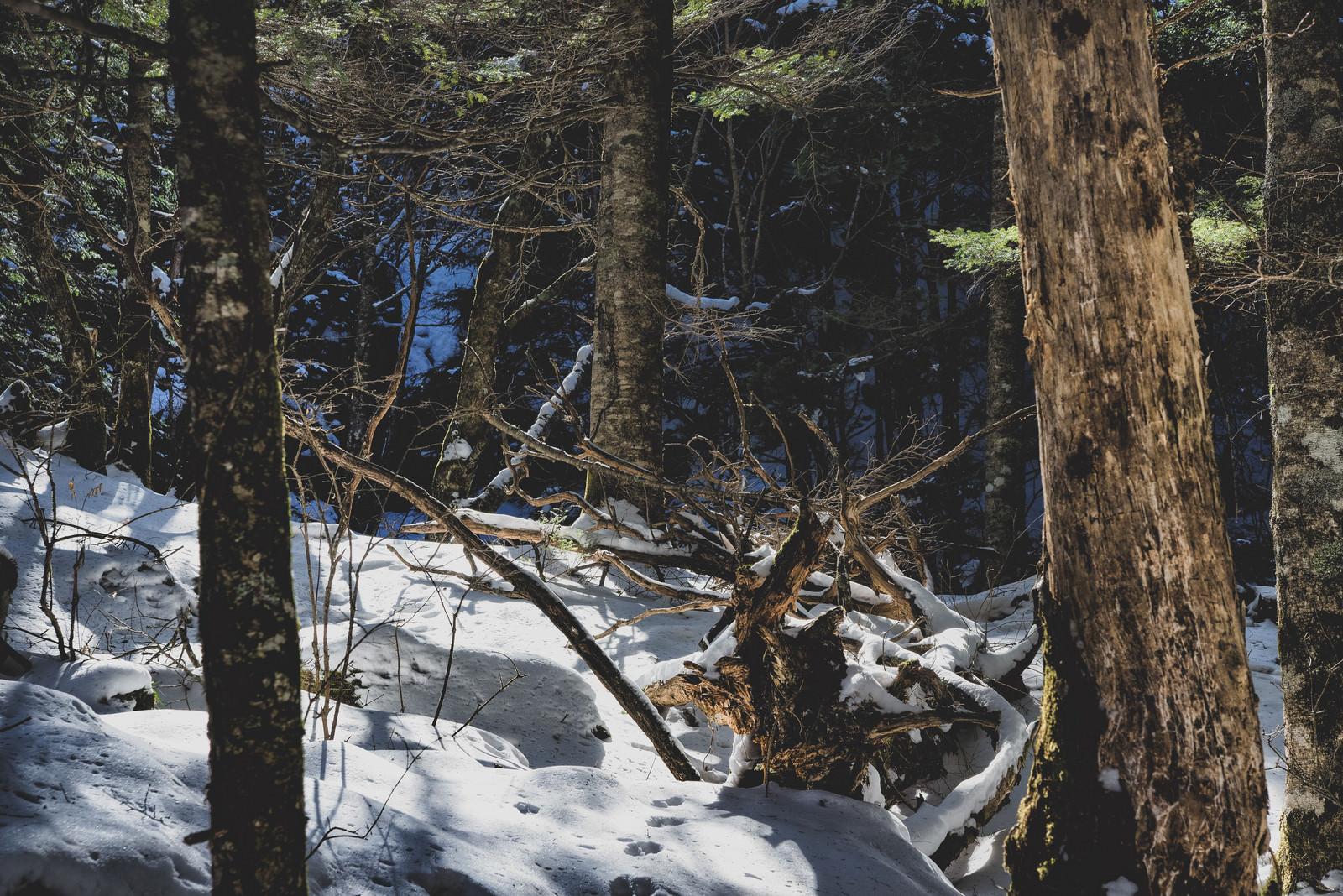 「残雪の森と枯れた木」の写真