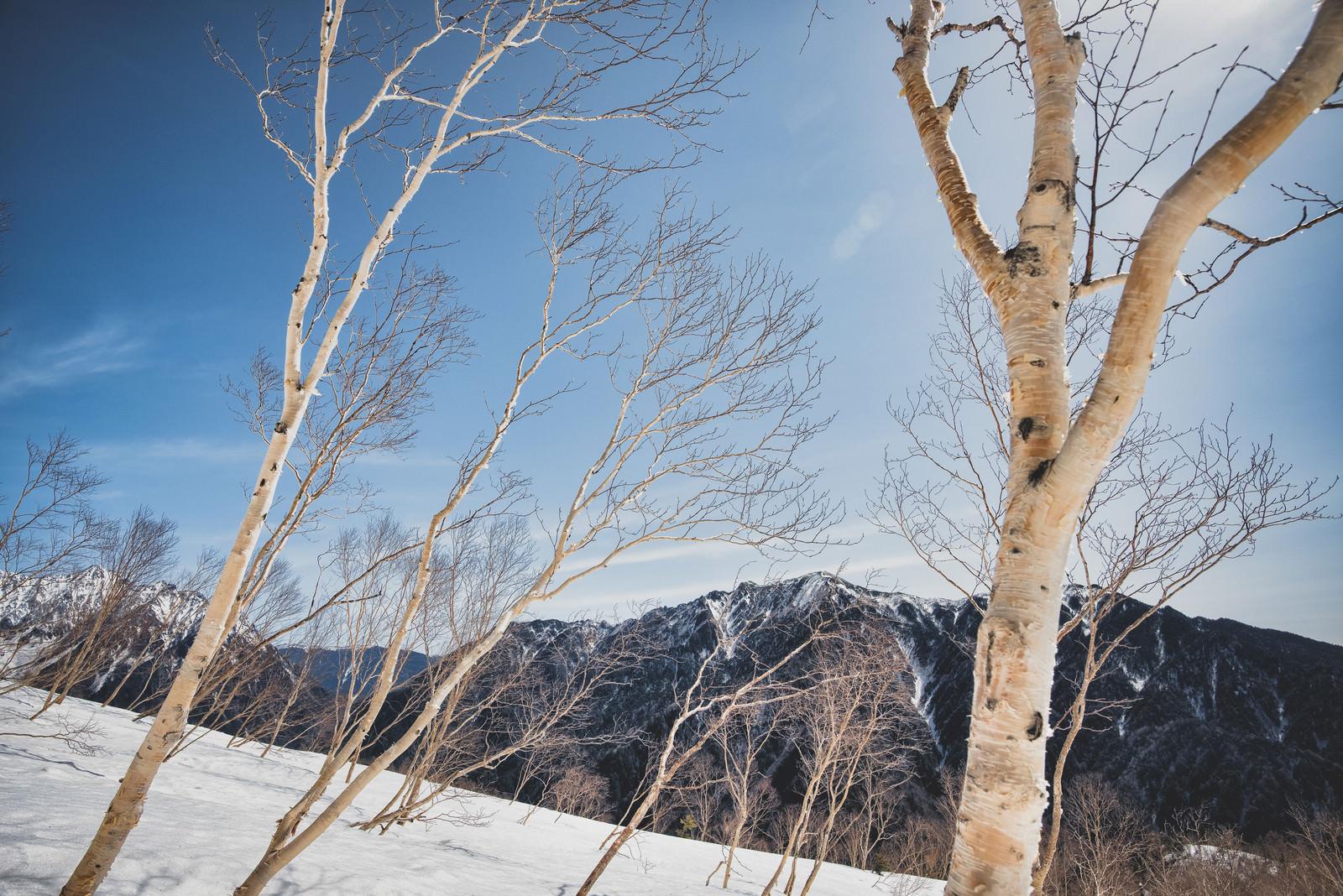 「焼岳斜面に群生する岳樺(ダケカンバ)」の写真