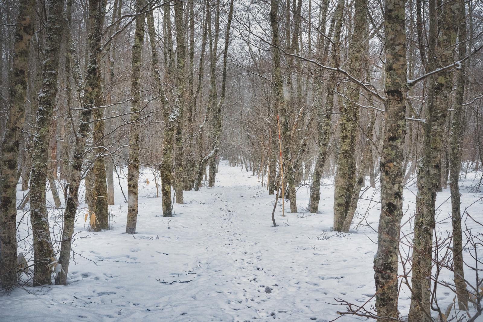 「自生する木々と雪の探索路」の写真