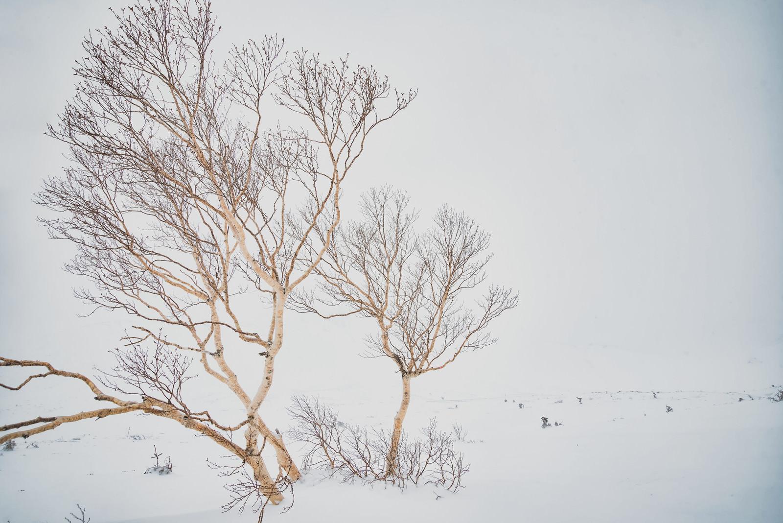「ホワイトアウトした乗鞍高原とダケカンバ」の写真