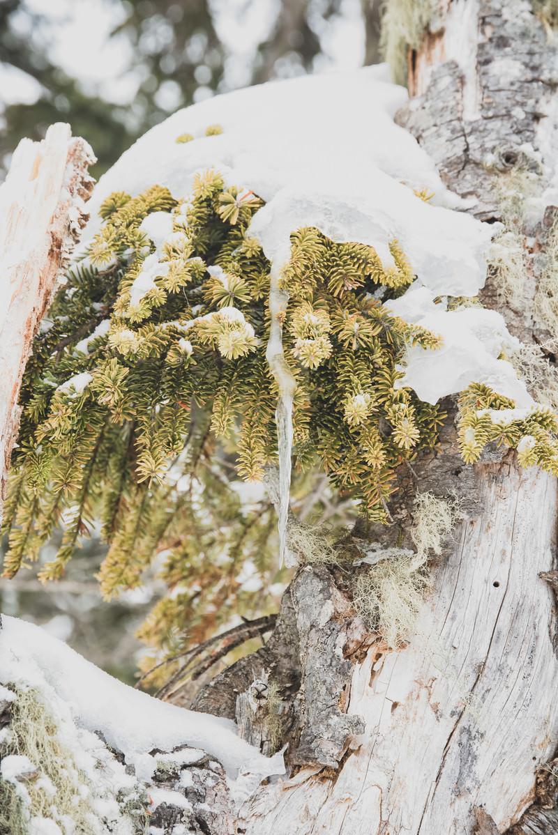 「針葉樹を覆う雪とつらら」の写真