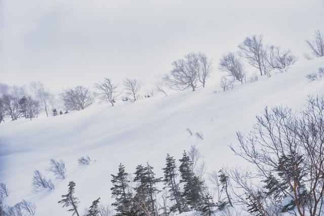 吹雪に耐える雪原の木々の写真