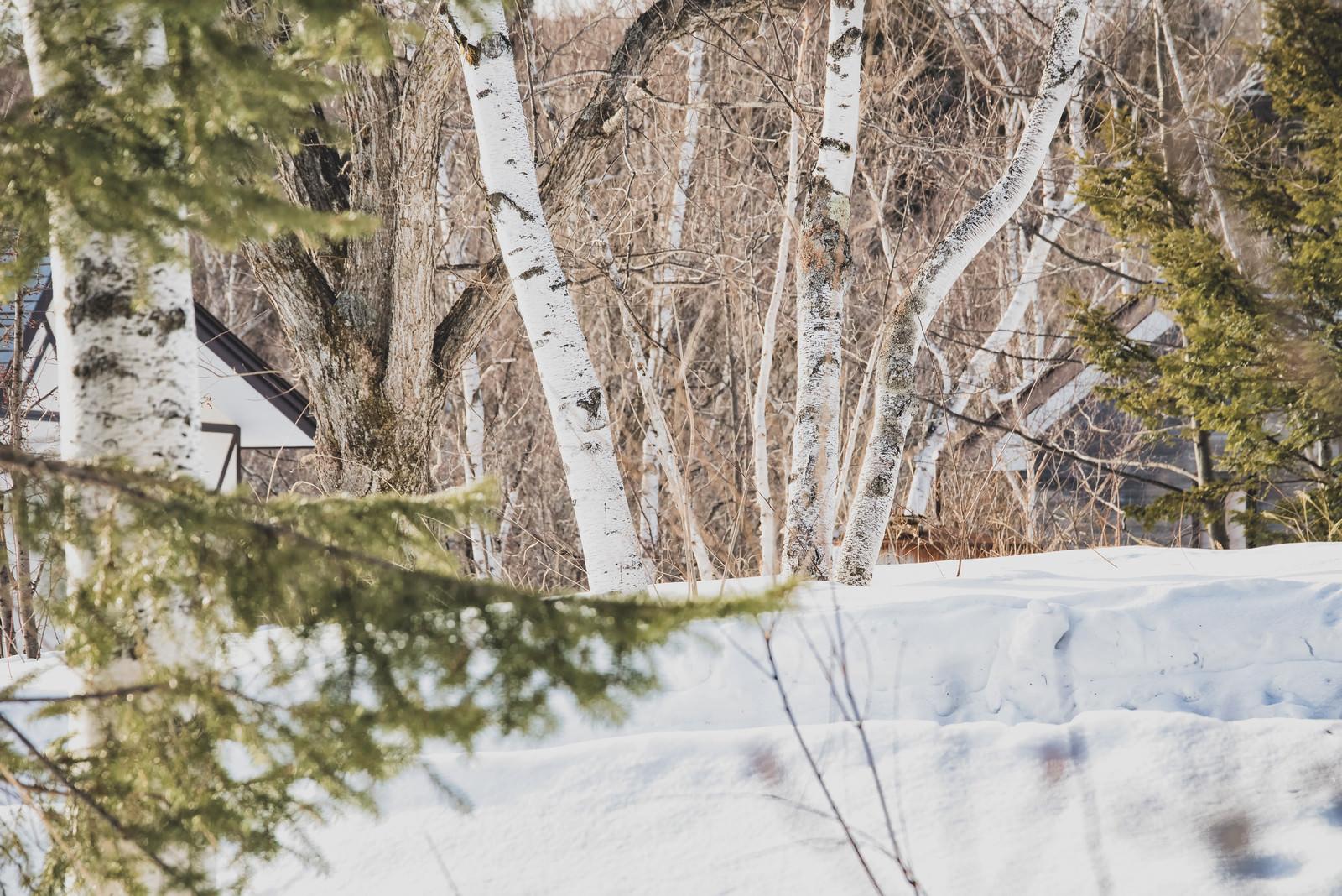 「雪深き白樺の森」の写真