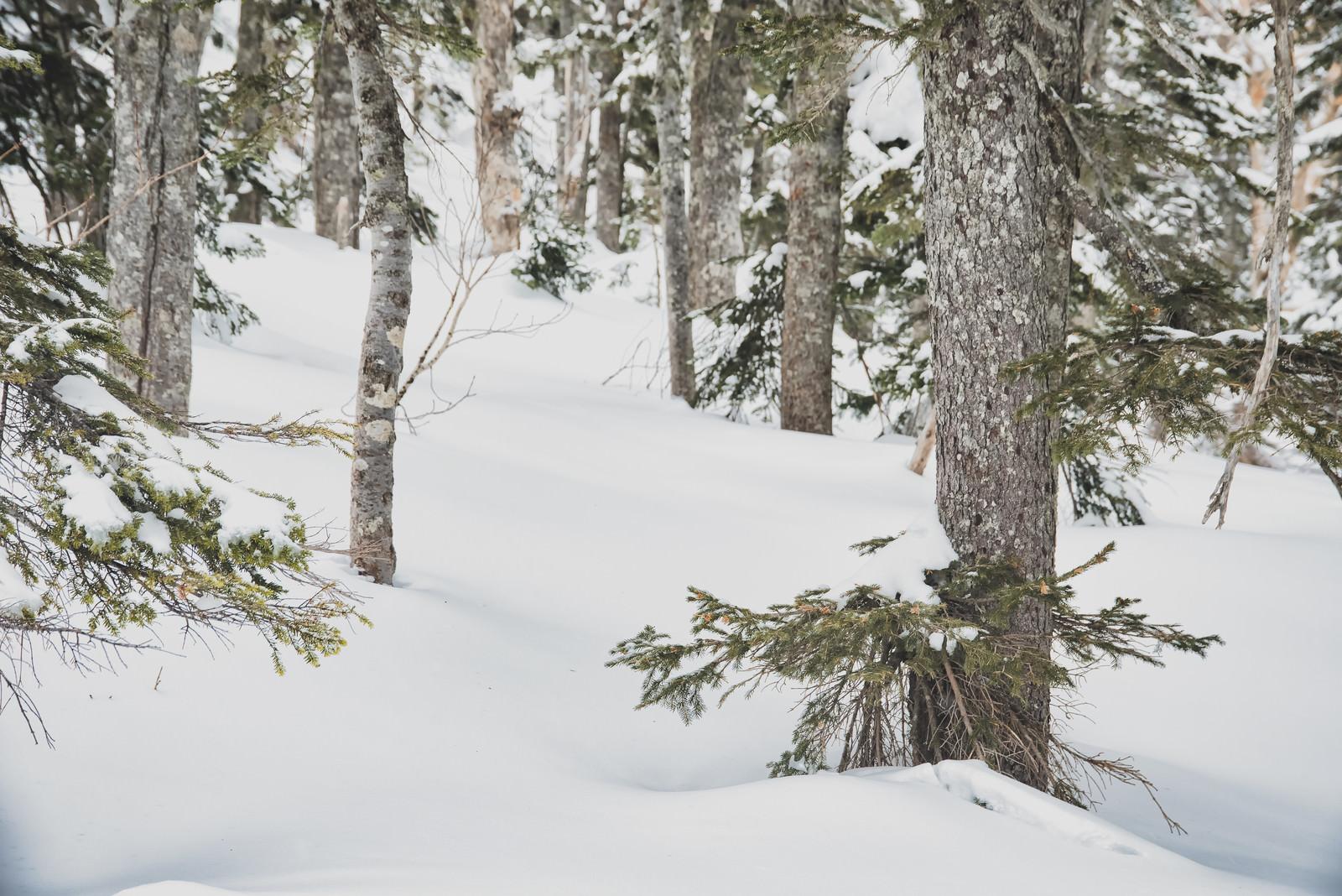 「雪に埋もれた森の木々」の写真