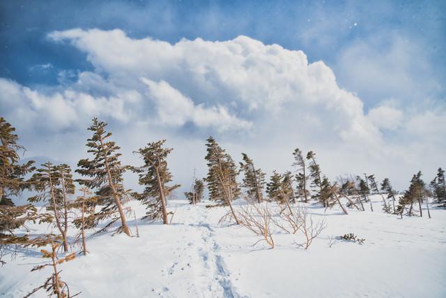 雪原の木々上に現れた積雲の写真