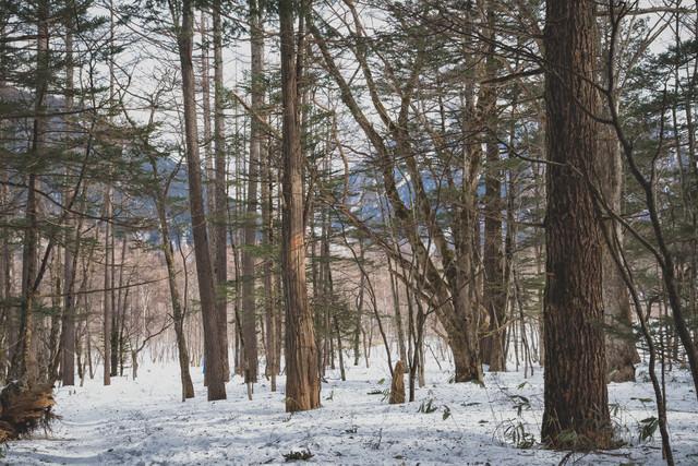 冬の上高地の森の写真