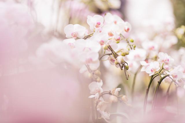 小さい胡蝶蘭の花の写真