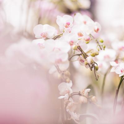 「小さい胡蝶蘭の花」の写真素材