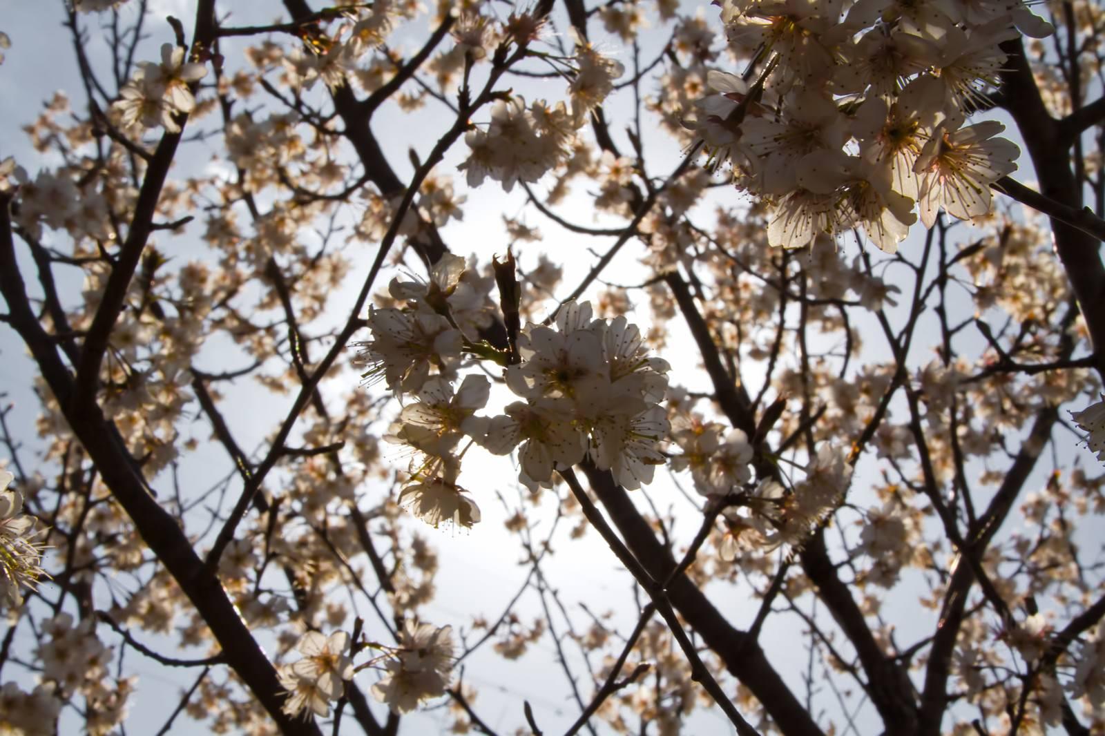 「日差しをバックにした桜」の写真