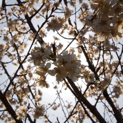 日差しをバックにした桜の写真