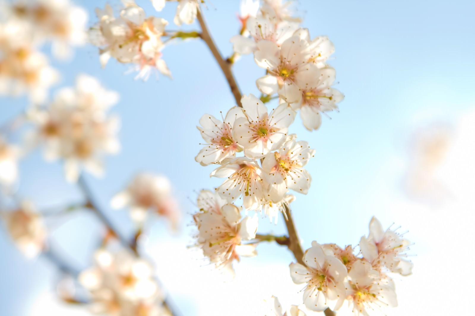 「ほんわかした桜ほんわかした桜」のフリー写真素材を拡大