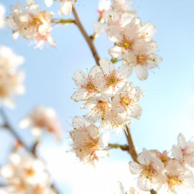 「ほんわかした桜」の写真素材