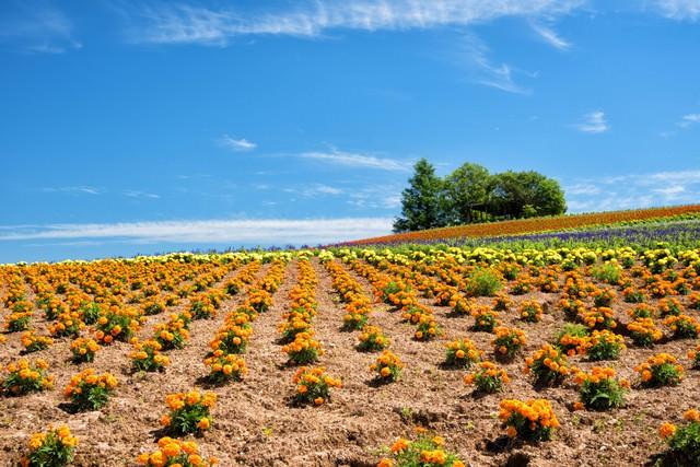 かんのファームの花畑(北海道上富良野町)の写真