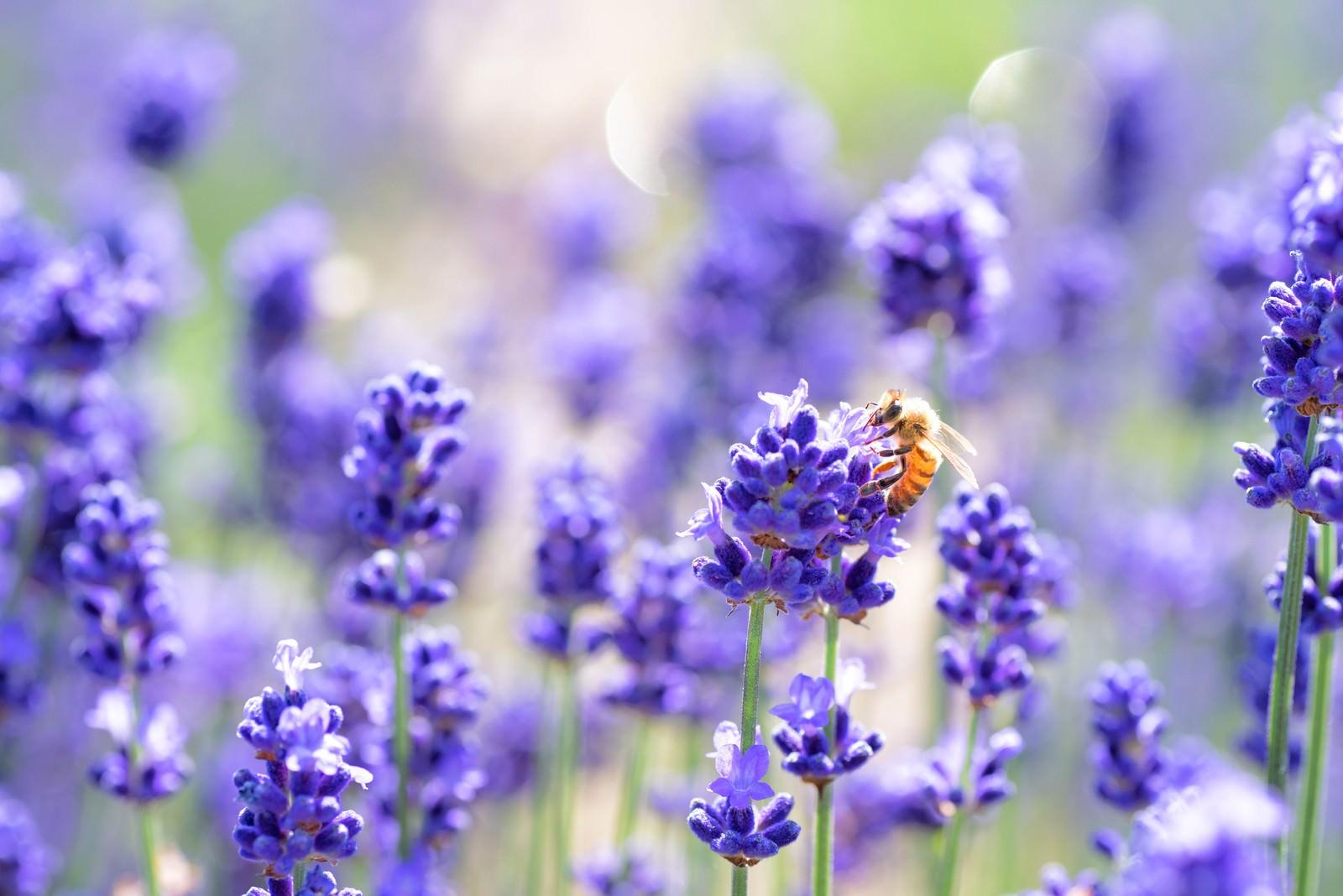 「ラベンダーの香りに誘われるミツバチ」の写真