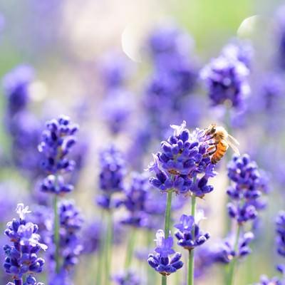 ラベンダーの香りに誘われるミツバチの写真