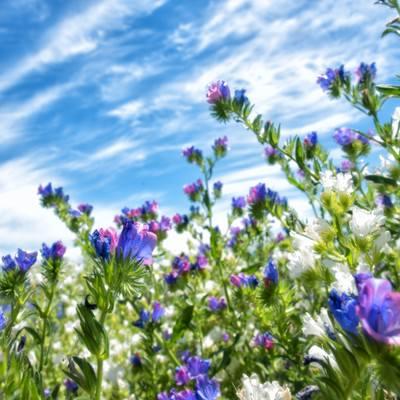 青空の下に咲くラベンダーの写真