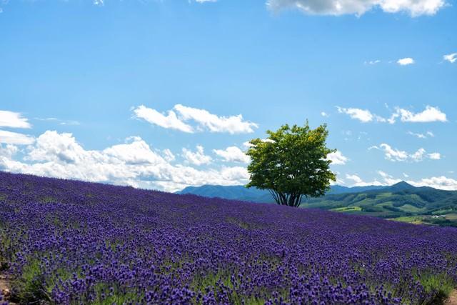 ラベンダー畑と一本の木の写真