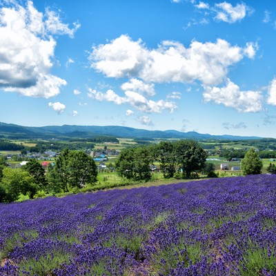 ラベンダー畑から望む大自然に包まれた町の写真