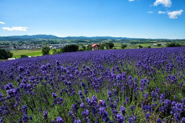 ラベンダー畑の眼下に広がる富良野の街並みの写真