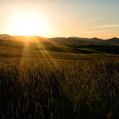 夕日に染まるススキの写真