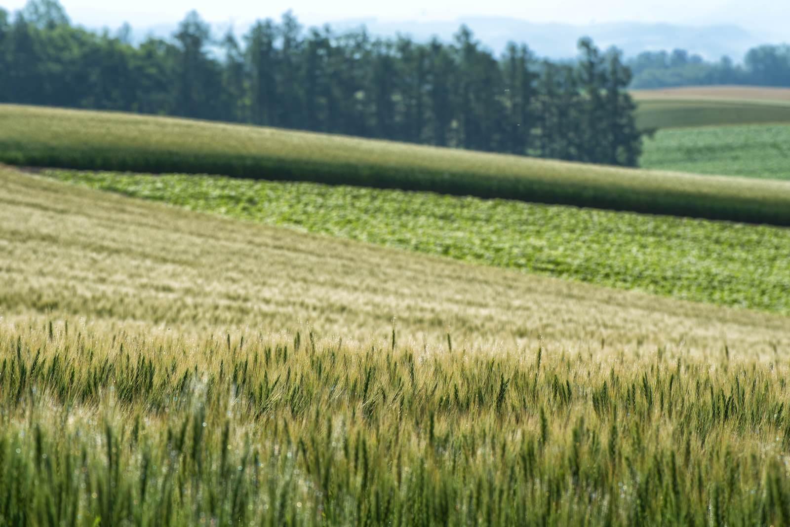 「北海道に広がる小麦とススキ」の写真