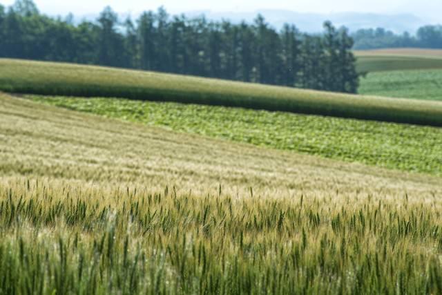 北海道に広がる小麦とススキの写真