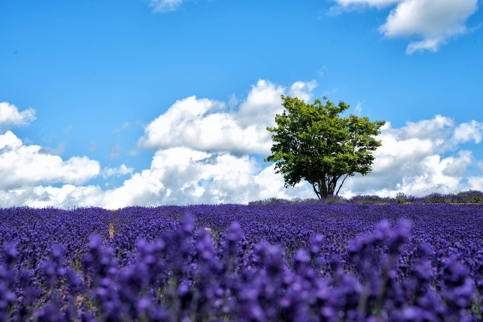 「北海道のラベンダー畑に立つ大きな木」の写真