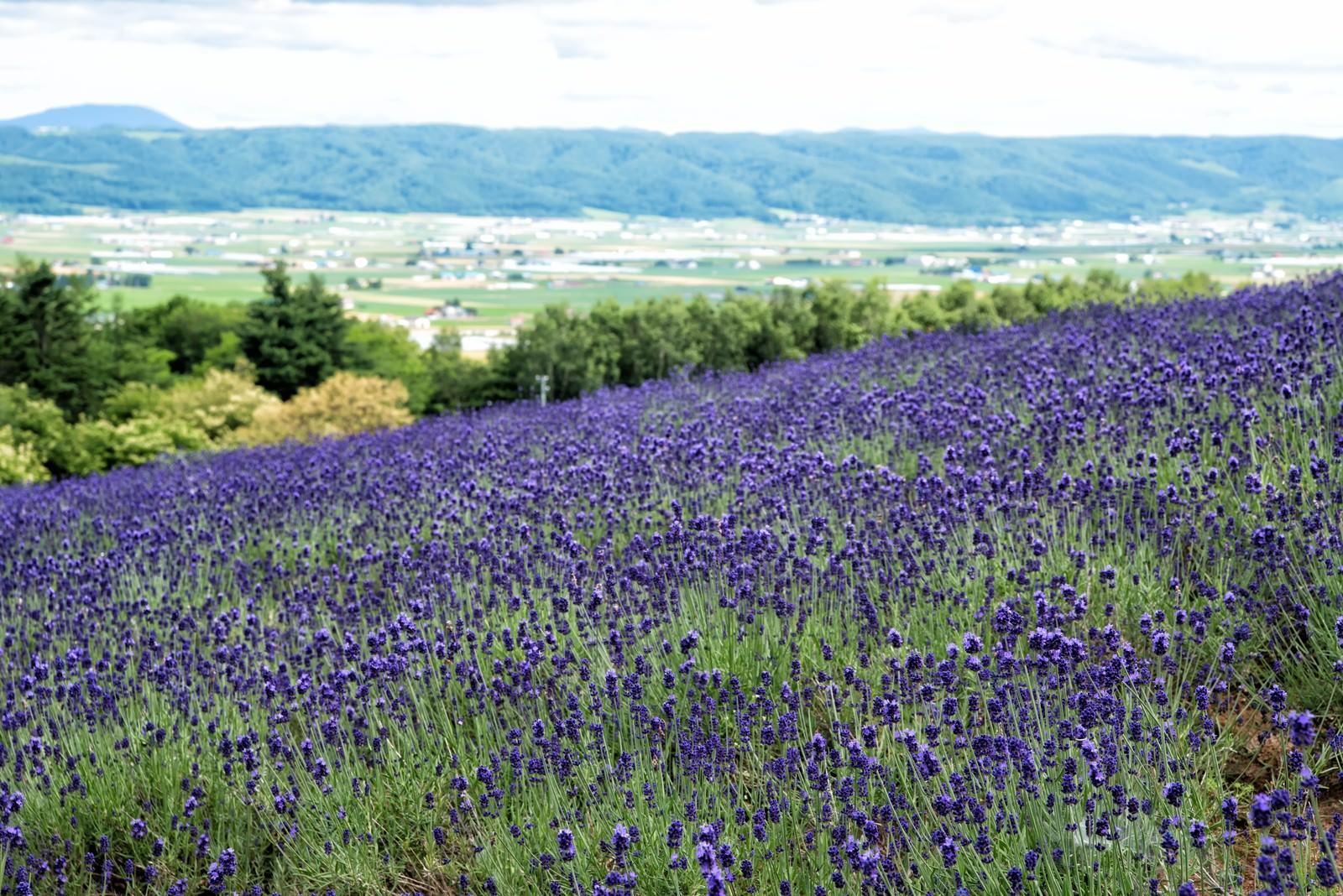 「富良野の高台にあるラベンダー畑から望む景色」の写真