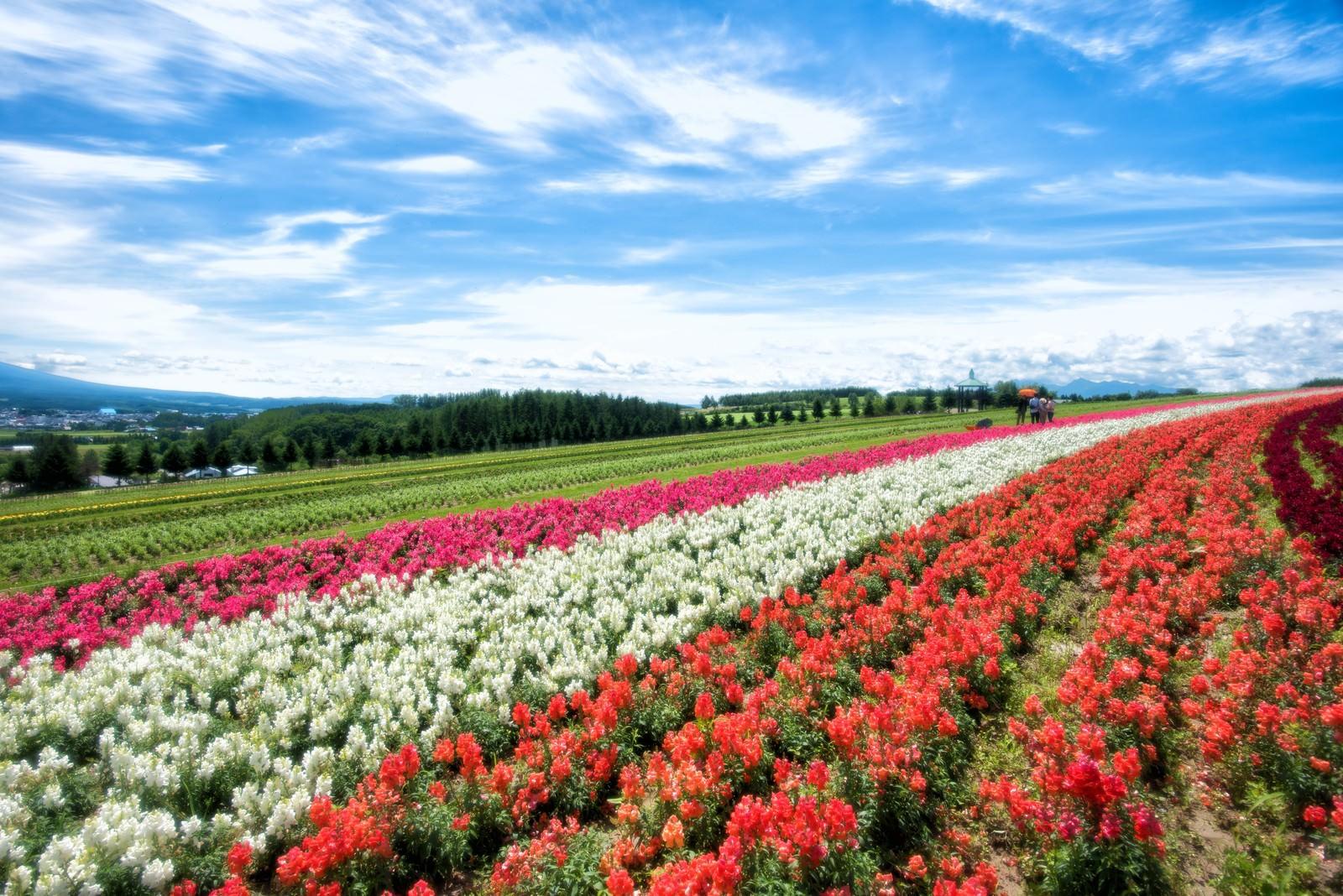 「色とりどりに咲き誇る富良野の花畑」の写真
