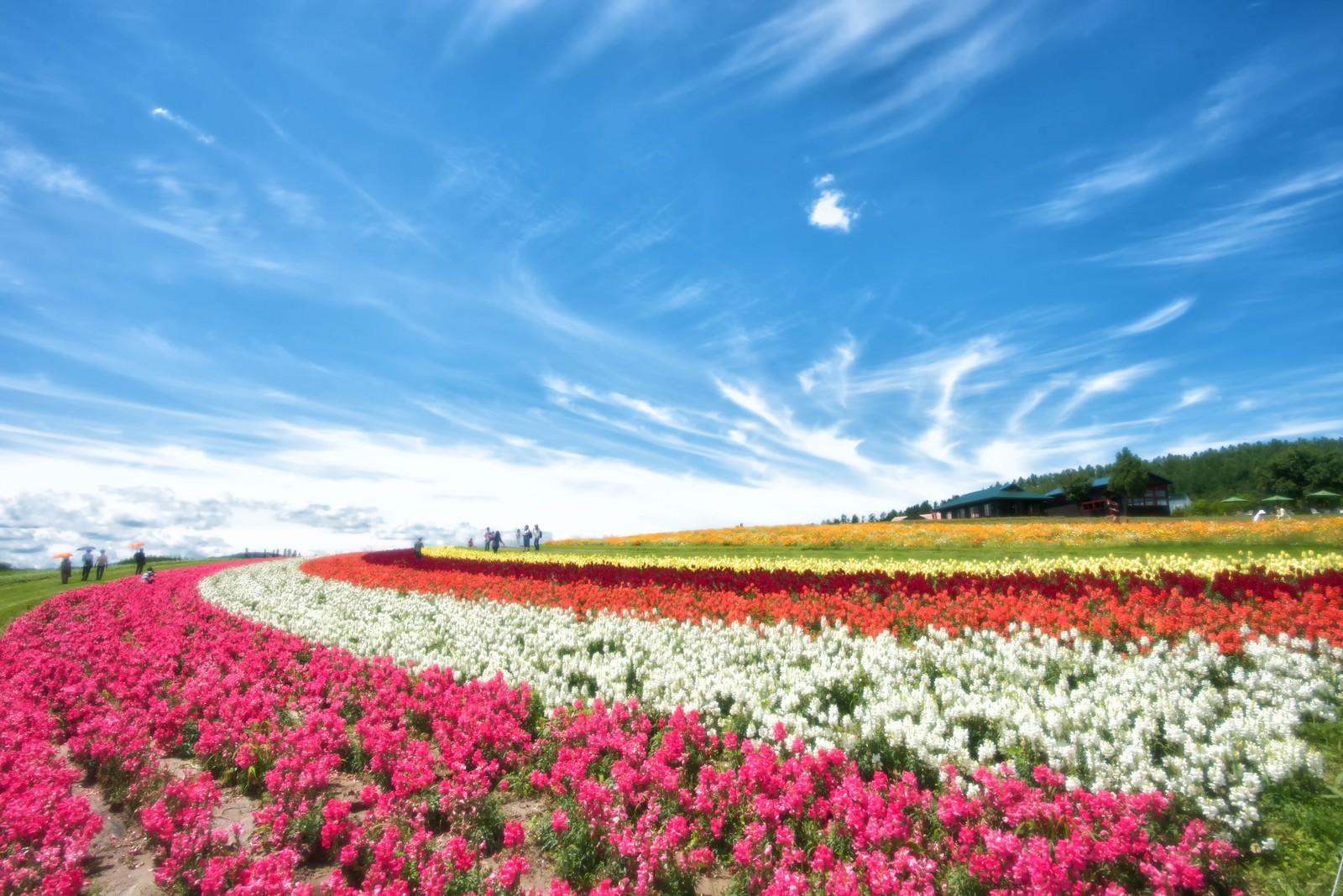 「色とりどりの花畑と青空が織り成す富良野の風景」の写真