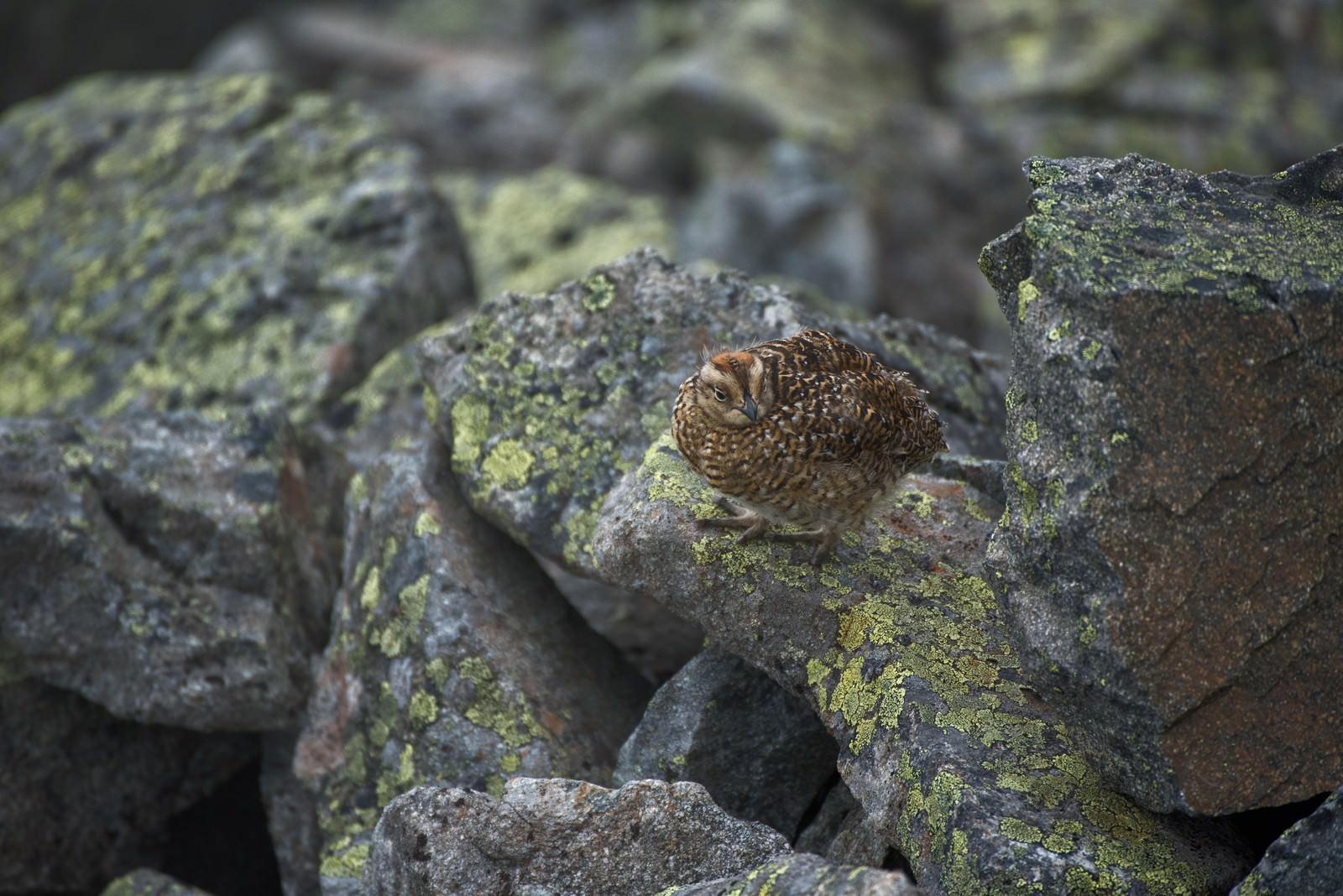 「岩場で何かを見つめるライチョウの雛鳥」の写真
