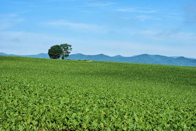 美瑛町の広大な畑に佇む木の写真