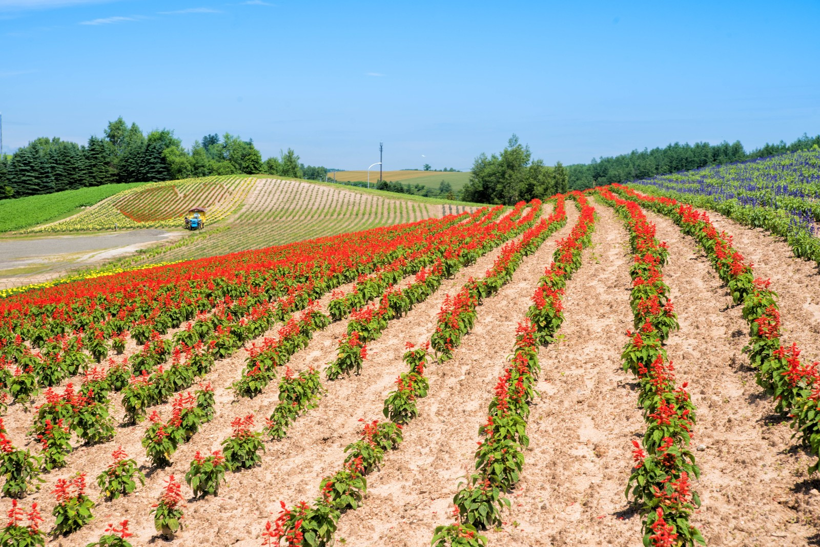 「美瑛町に広がる花丘」の写真